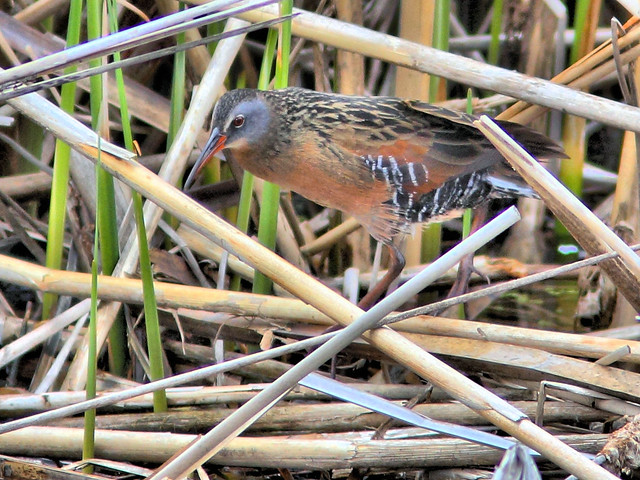 Virginia Rail HDR 01-20160503