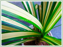 Pandanus veitchii 'Variegata' (Variegated Dwarf Pandanus, Variegated Screw Pine, Variegated Veitch's Screw Pine), joined our garden collection, Dec 20 2015
