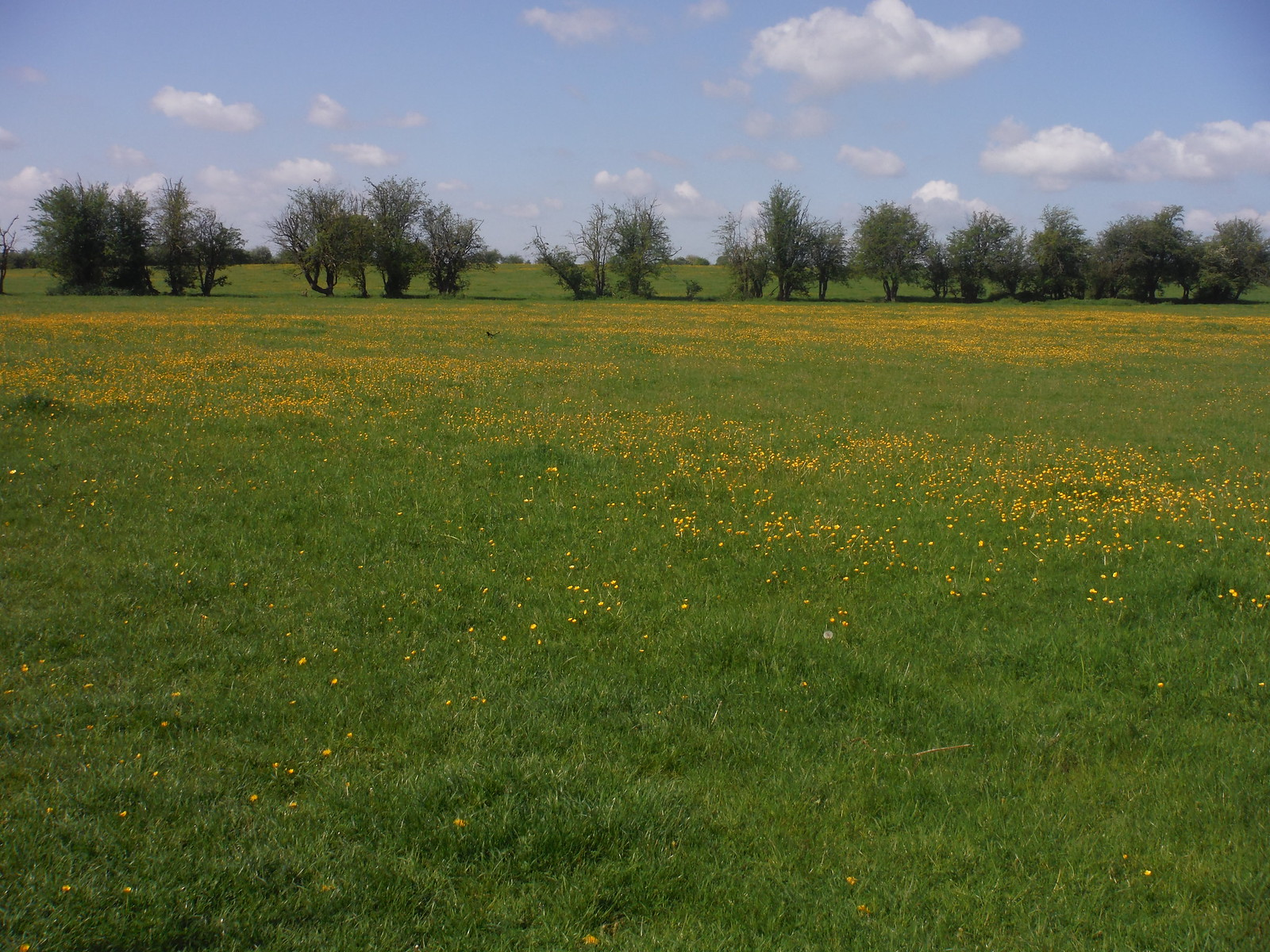 Buttercups, Cuttle Brook Nature Reserve SWC Walk 190 - Thame Circular