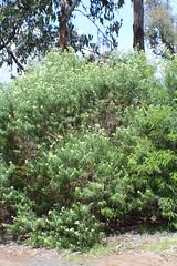 Cassinia longifolia (Shiny Cassinia)