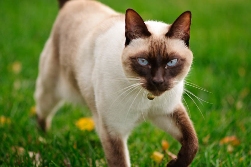 Hunter Siamese cat