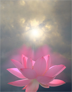Pink Lotus Flower - Reaching for the sun - a variation - IMG_3453-1