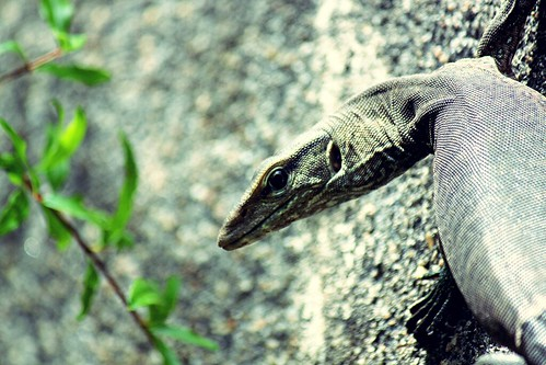 Monitor Lizard - trying to hypnotize!