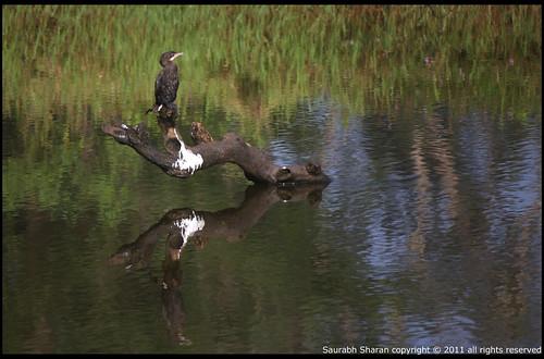 cormorants and shags