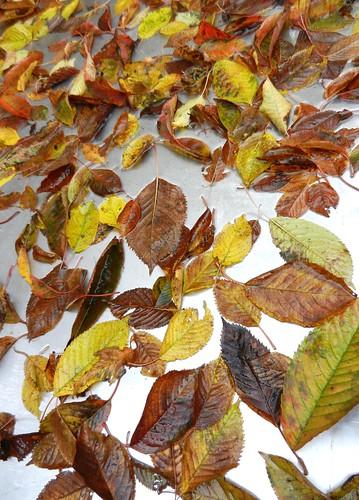 Wet fall cherry leaves on metal, red, yellow, green, black, Broadview, Seattle, Washington, USA by Wonderlane