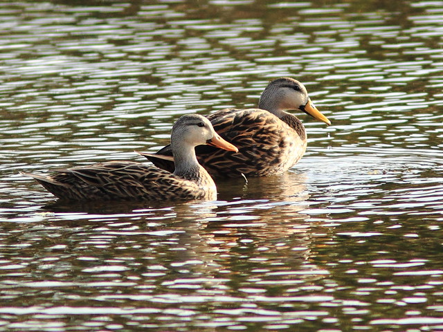 Mottled Ducks 20111204