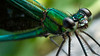 metallic green dragon fly by Anand Lepcha