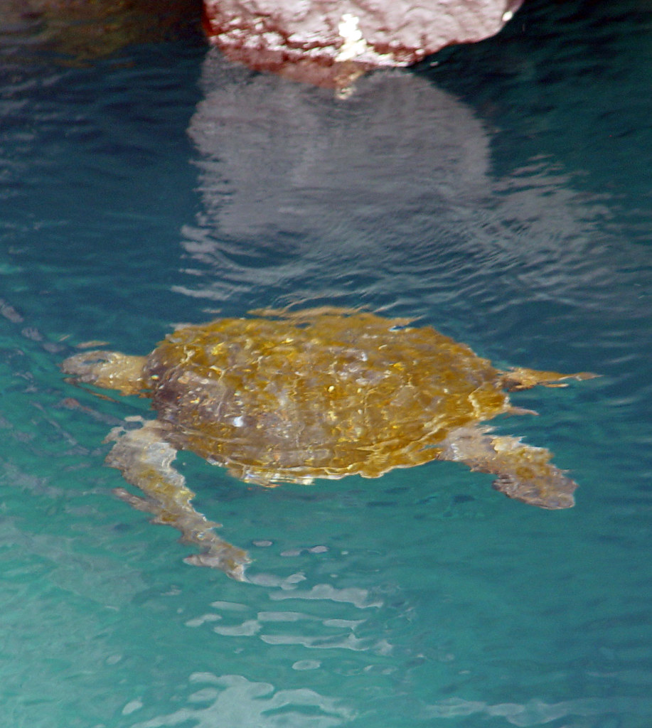 DSC00859 Green Turtle cropped
