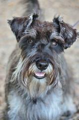 dog breed, animal, dog, schnoodle, standard schnauzer, vulnerable native breeds, schnauzer, cesky terrier, lakeland terrier, miniature schnauzer, carnivoran, terrier,