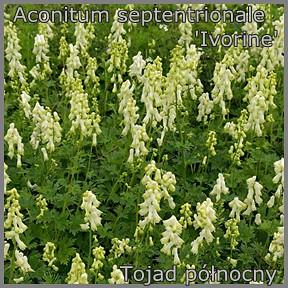 Aconitum septentrionale 'Ivorine' - Tojad północny