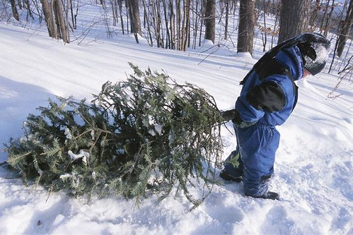 Young child assists with carrying a cut Christmas tree. The Forest Service  would like to remind those tree cutters to put safety first on their lists this year.