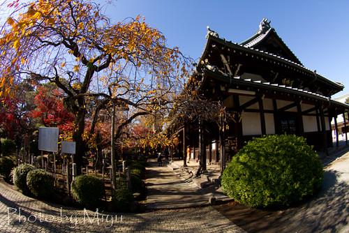 豪徳寺本堂と枝垂桜