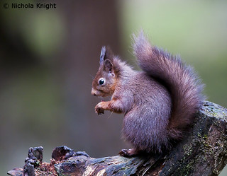Eurasian red squirrel (Sciurus vulgaris) (Explore)