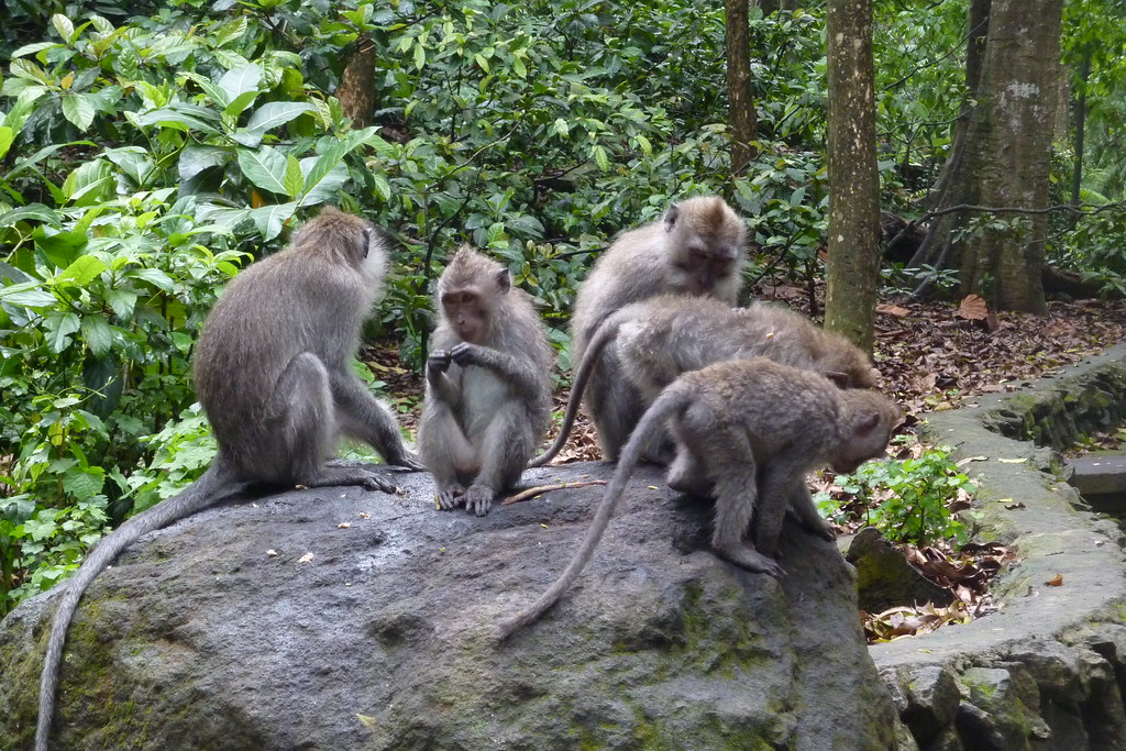 Macaques in Ubud Monkey Forest