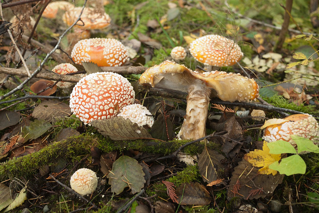 Funghi in Little Qualicum