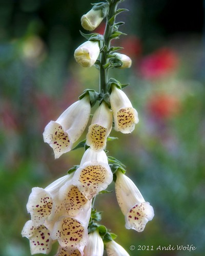 Digitalis by andiwolfe