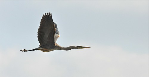 CBC Great Blue Heron