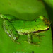 Green Rain Frog - Photo (c) Drriss, some rights reserved (CC BY-NC-SA)