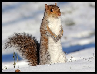 Squirrel in the snow.....brrrrrrrr!