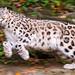 Running Kailash by Tambako the Jaguar