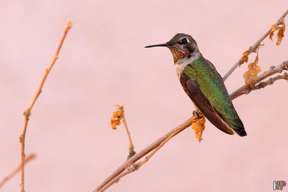 Anna's Hummingbird 122811-3