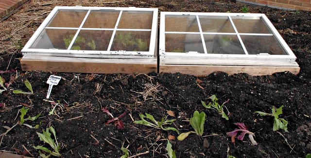 Lettuce inside and outside the cold frames