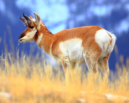 IMG_2722 Pronghorn, Gallatin National Forest by ThorsHammer94539