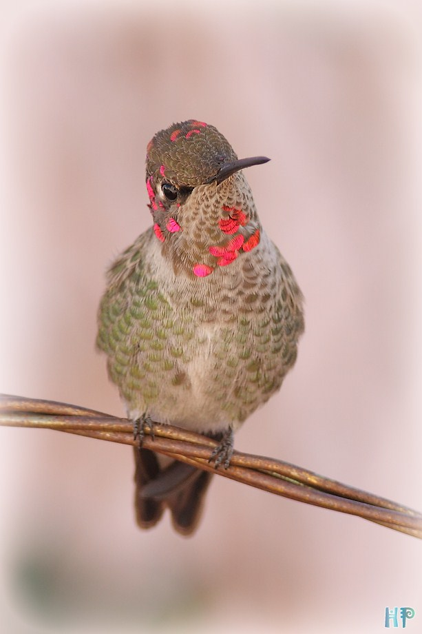 Anna's Hummingbird 010212-6