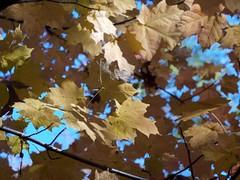 日, 2010-11-07 15:09 - New York Botanical Garden (Bronx) ブロンクスの NY植物園 紅葉