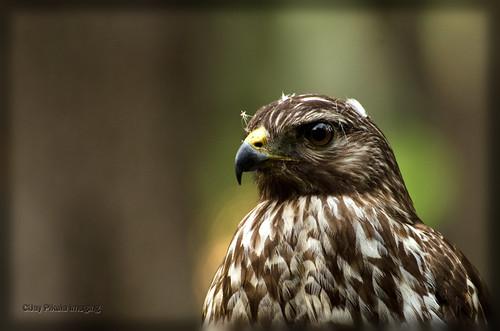 Red Shouldered Hawk by CiJay Pikula Imaging