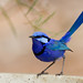 Splendid Fairy Wren ~ Explored ~