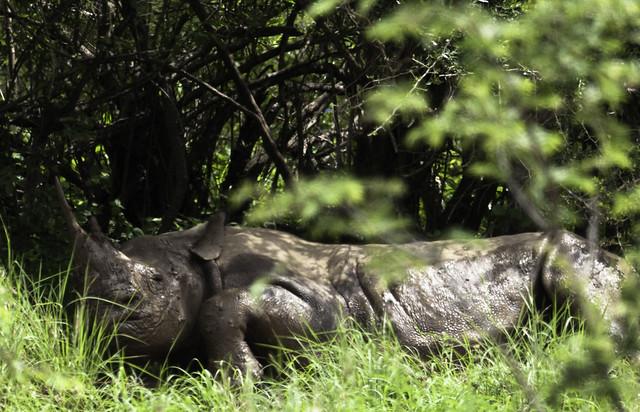 Finally a black rhino