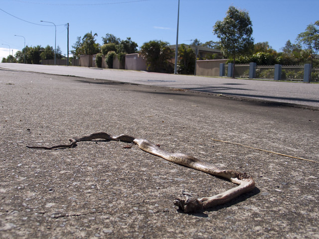 Dead snake beside the road