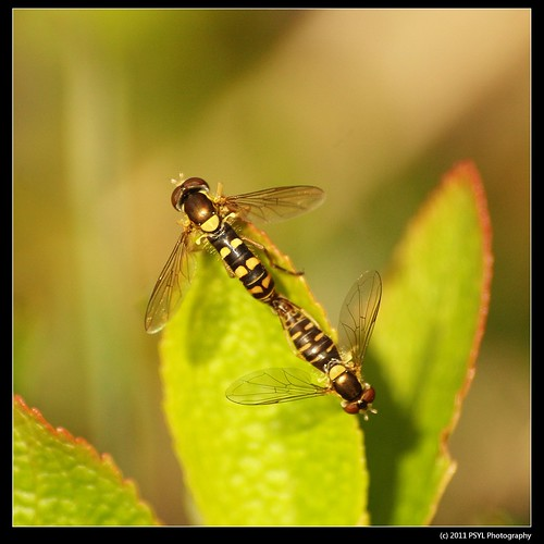 Sphaerophoria spp. (Syrphid Flies)
