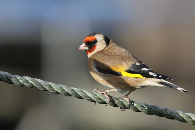 Goldfinch- In the sun