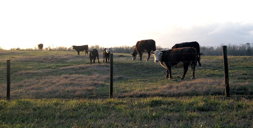 field rural georgia cow cows olympus pasture carrollton carrolltongeorgia roopville ruralgeorgia carrolltonga roopvillegeorgia roopvillega olympusepl1