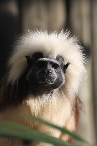 Cotton Topped Tamarin by McShug