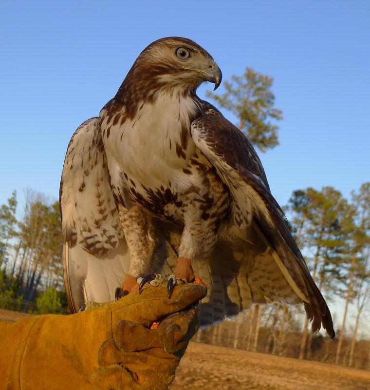 hawk again