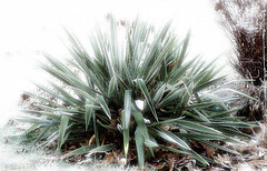 Cosmic Frosted Yucca