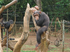 orangutan(0.0), chimpanzee(1.0), animal(1.0), zoo(1.0), mammal(1.0), great ape(1.0), fauna(1.0), common chimpanzee(1.0), ape(1.0), wildlife(1.0),
