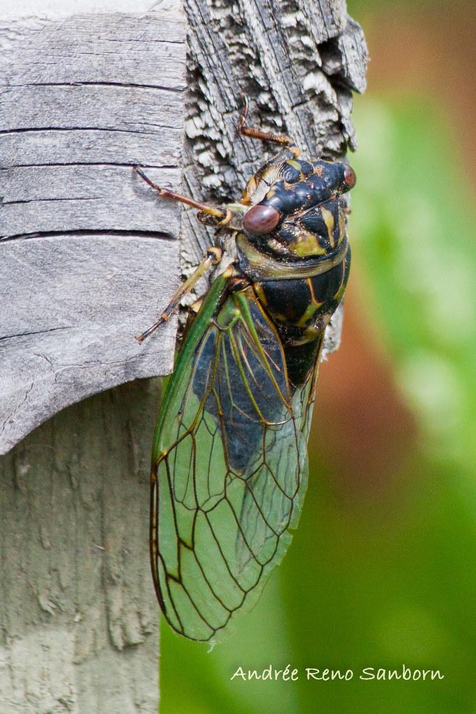Dog-day Cicada (Tibicen canicularis)-12.jpg