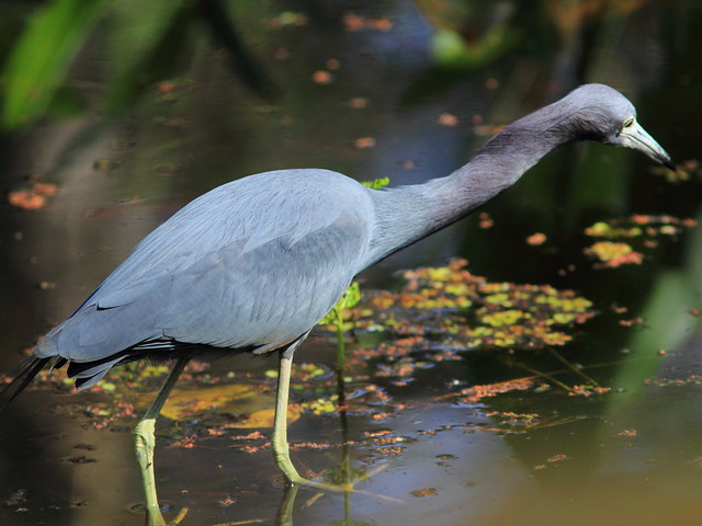 Little Blue Heron 20120131
