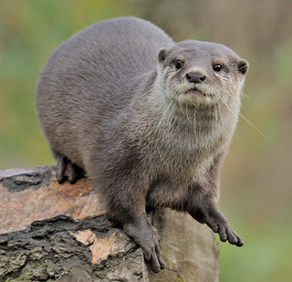 Asian Short Clawed Otter Captured At Local Wetlands Centre