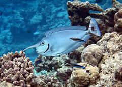 Longnose Unicornfish - Naso brevirostris + Cleaner Wrasse - Labroides dimidatus