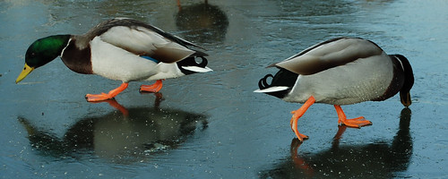 DSC_9135-2-ducks-on-ice_crop