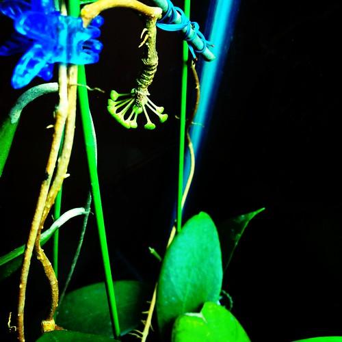 Hoya sp. Estrella
