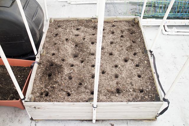 Sugar Snap Pea Planting 2014_7