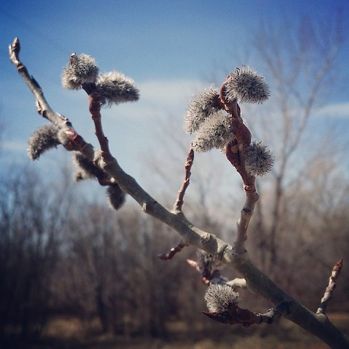 first signs of spring #yyc