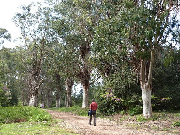 sous les eucalyptus