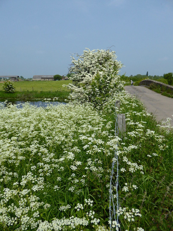 Cow parsley and hawthorn blossom Thame Circular walk